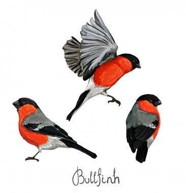 Bullfinch beautiful set