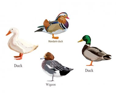 illustration duck set