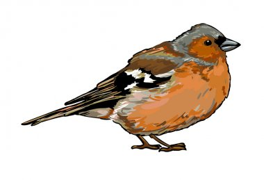 Chaffinch Bird sketch