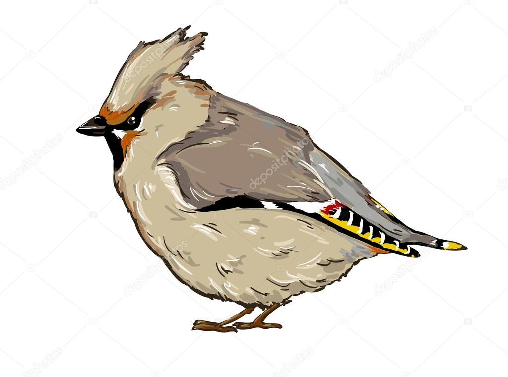 waxwing bird sketch stock vector 70475245