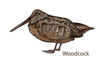 Woodcock realistic bird