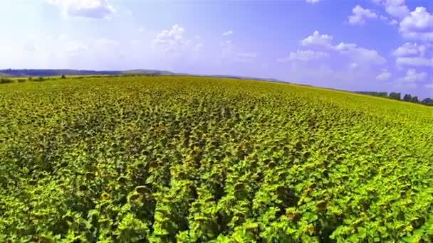 napraforgó mező