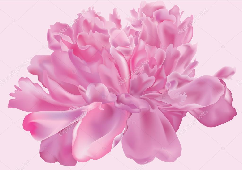 Peony flower . Vector illustration.