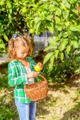 Seven year old girl  picking clementines from her garden