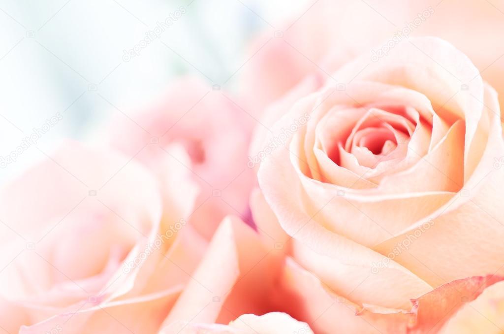 beautiful soft pink rose