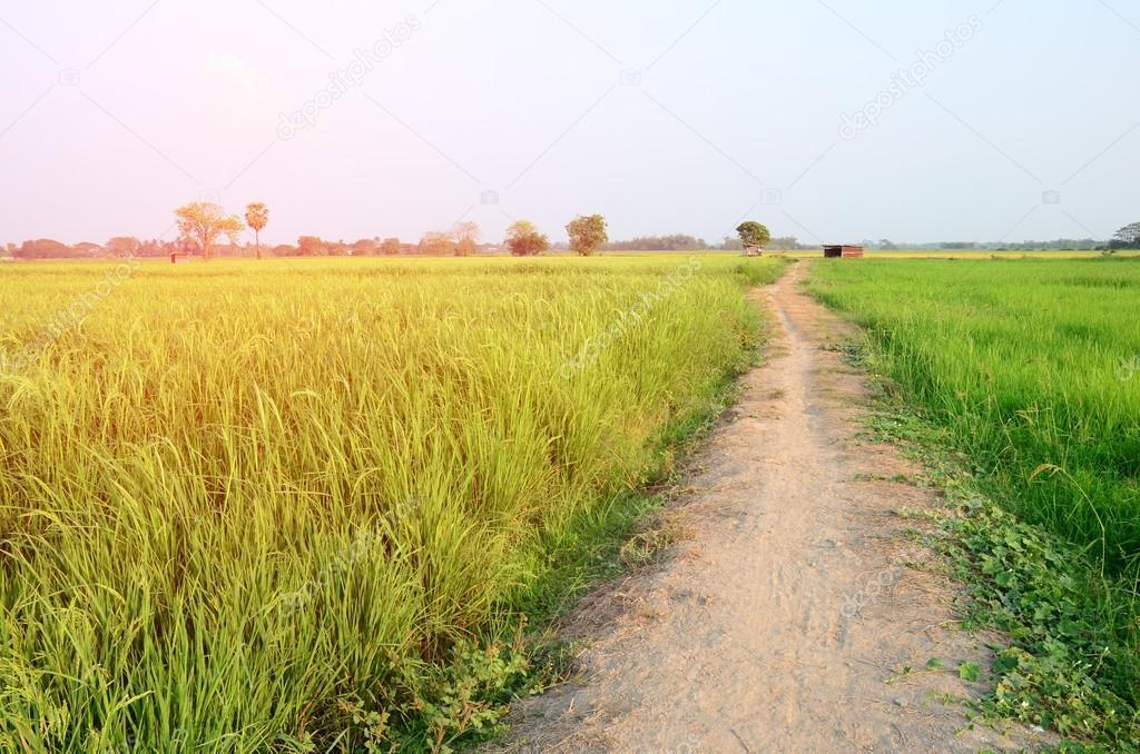 road in rice field