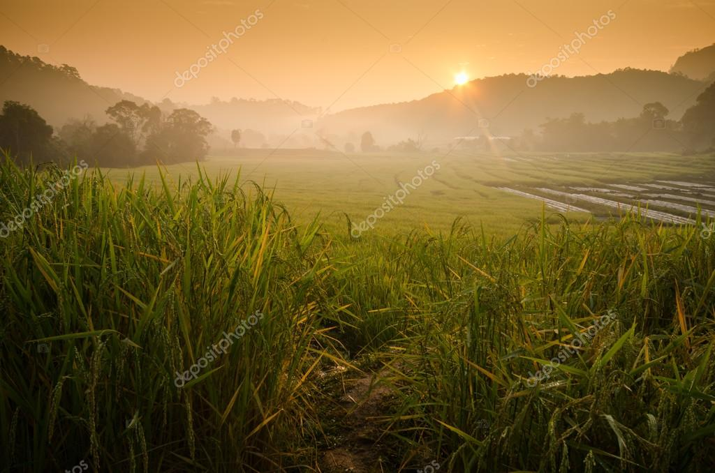 Sunrise at terraced rice field