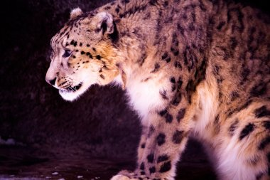 Snow leopard is ready to attack