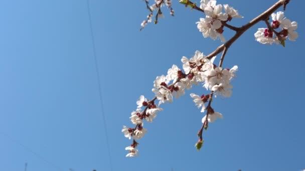 Primavera fiori di ciliegio, fiori bianchi e germogli