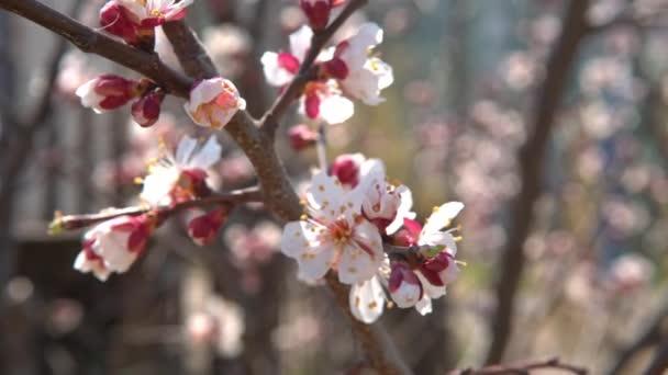 Tavasszal, cseresznye virágok, fehér virágok és rügyek