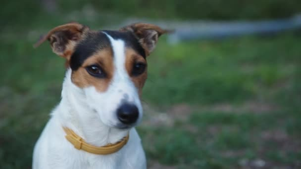 Cute Jack Russell Terrier dog