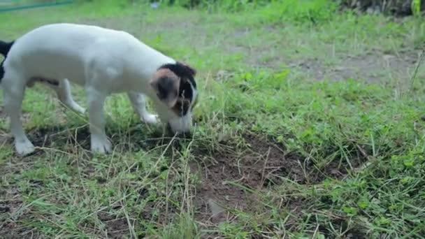 Jack russell terrier puppy playing in the yard