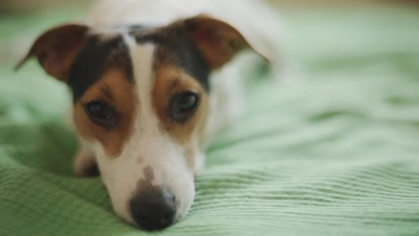 Jack Russell Terrier dog looking at the camera