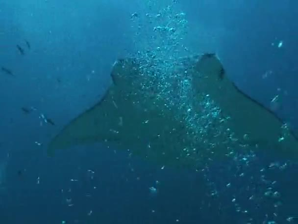 Mantas Schwimmen unter Wasser