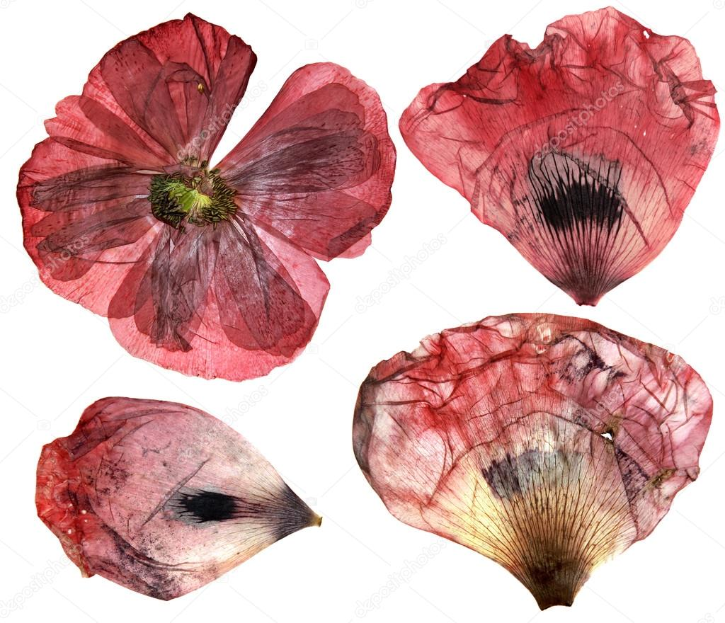 Dry Pressed Poppy Perspective Delicate Flowers And Petals Iso