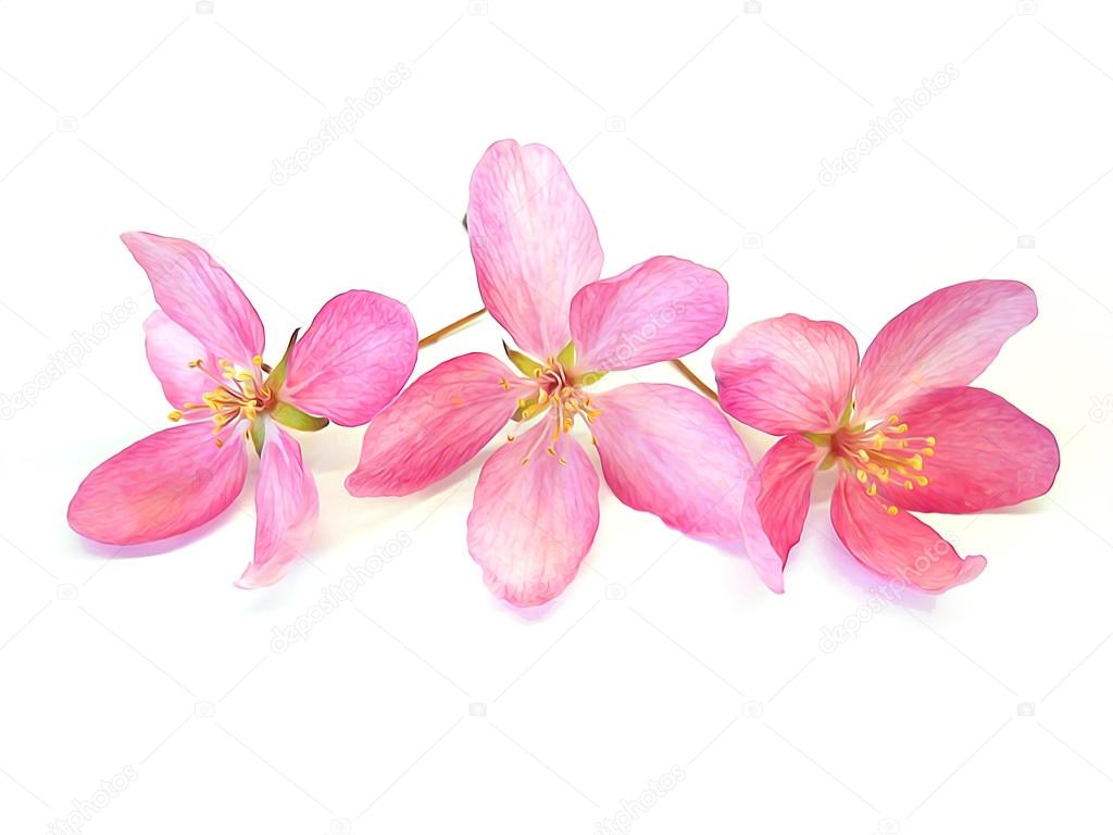 Oil Draw Pink Cherry Perspective Paint Fresh Delicate Flowers A