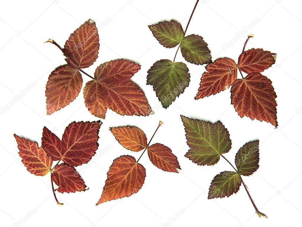 ölfarben Trocknen Herbst Blatt Der Himbeere Helle Farben