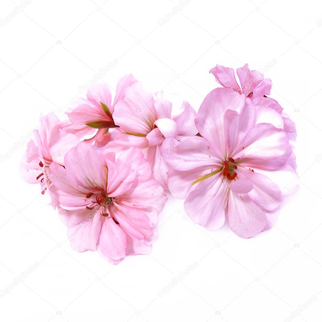 Oil Draw Geranium Perspective Paint Fresh Delicate Light Pink