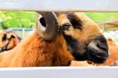Fotografie Schockierender Moment an Barbado Blackbelly Schaf