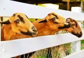 Fotografie Barbado-Blackbelly-Schafe, die die Aufmerksamkeit