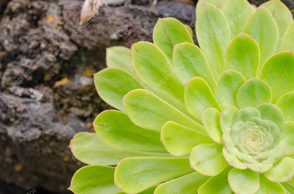 Aeonium, typical of the Canary Islands floor.
