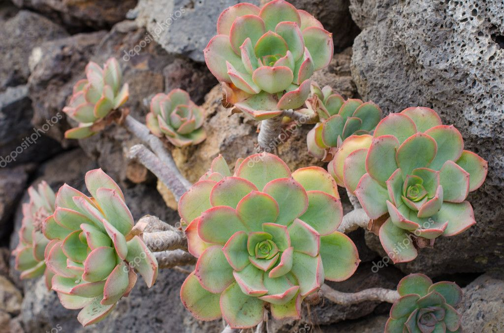 Aeonium, typical flower of the Canary Islands.
