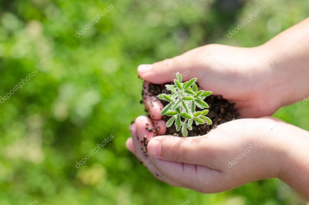 Dirty boy hands holding small young herbal sprout plant.