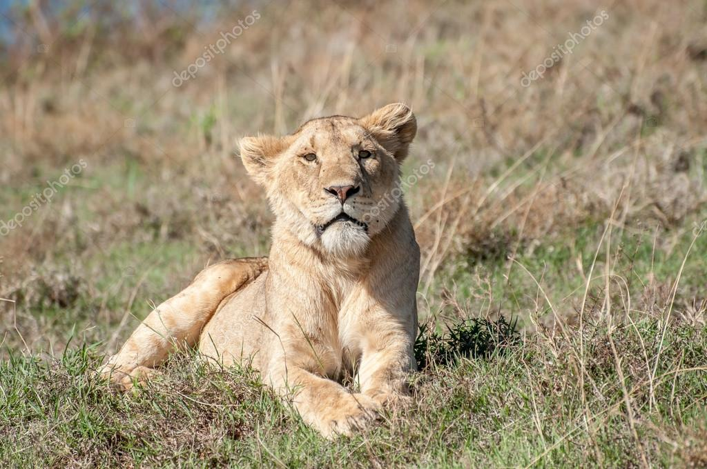 Relaxed lioness lying in short grass.