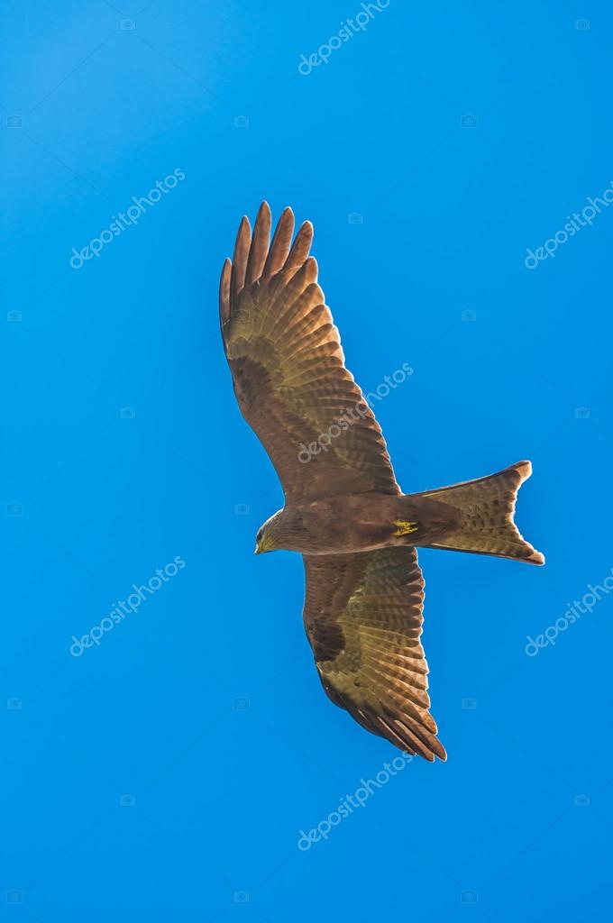 Yellow billed kite hovers in blue sky with wings stretched
