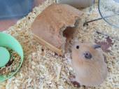 Syrischer Hamster isst einen Laib Brot