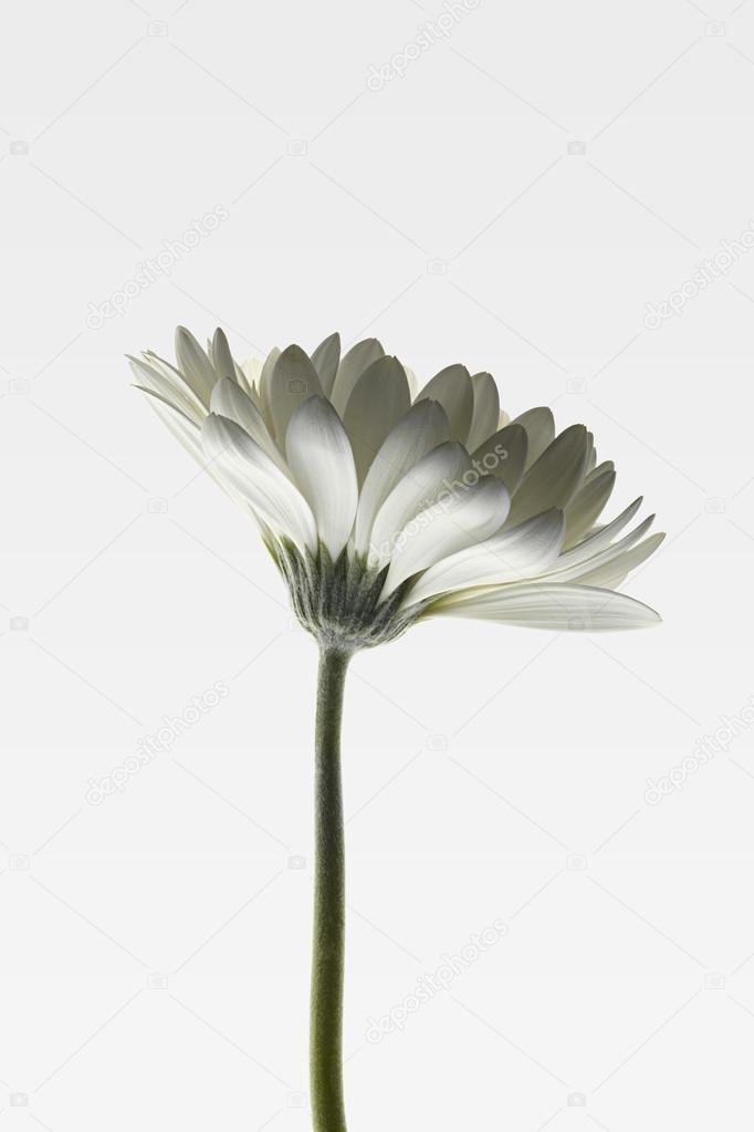 Single white daisy on white gradient background.