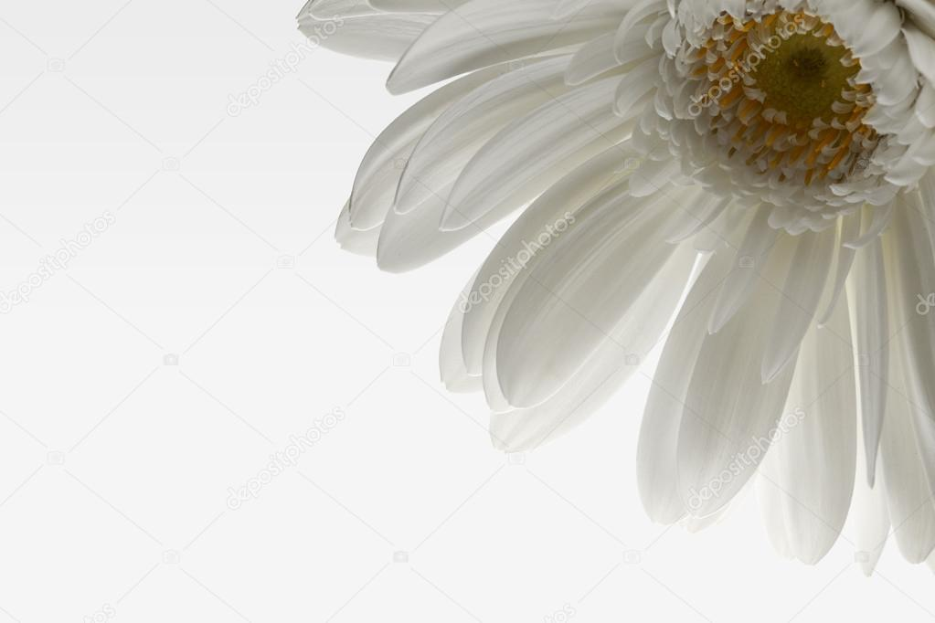 Single closeup white daisy on white gradient background.