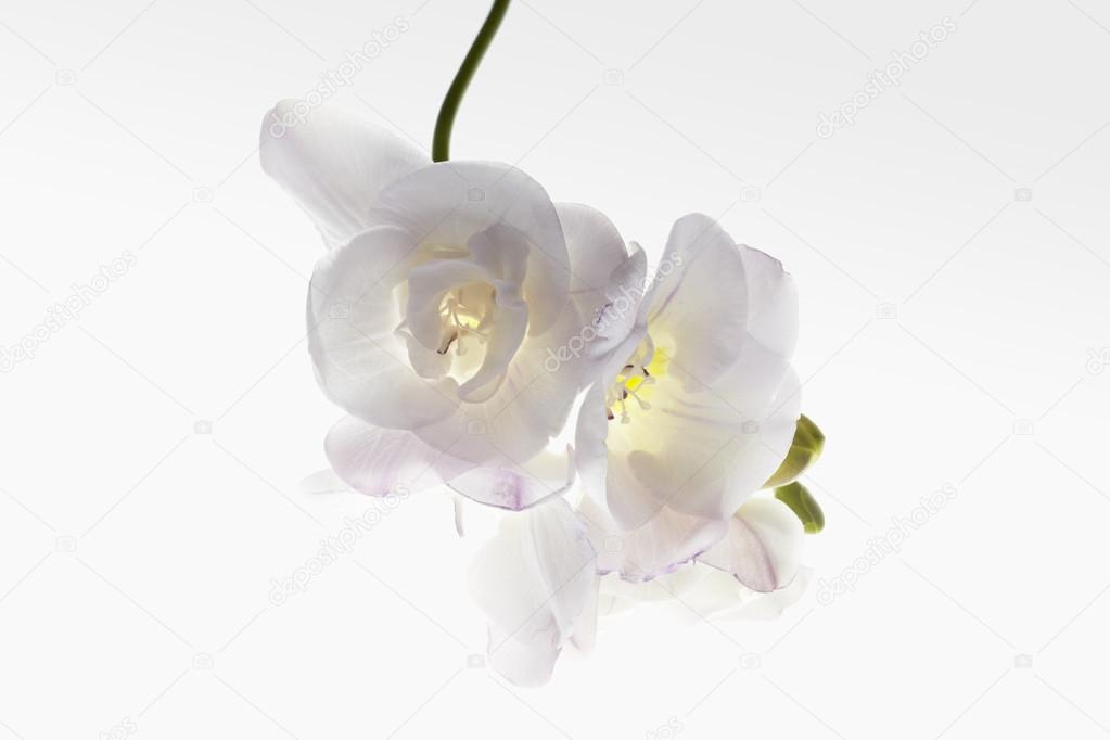 Trumpet flowers with stem on white gradient background.