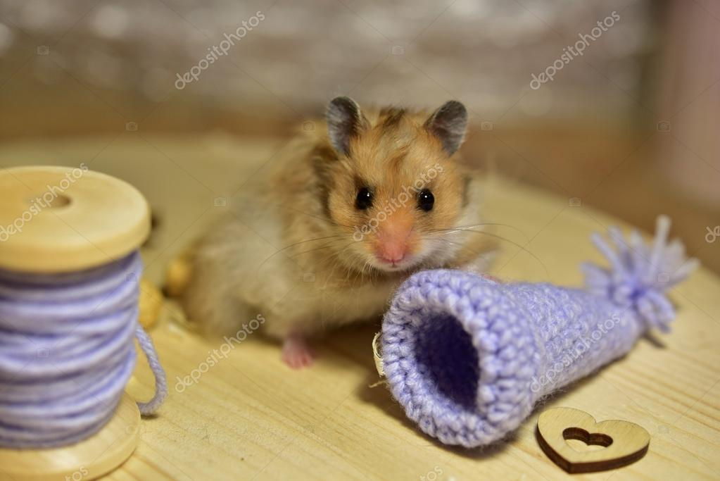 Photos: baby hamsters | Baby syrian hamster — Stock Photo