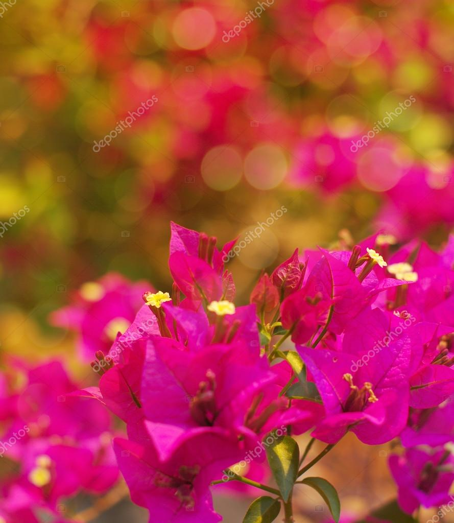Pink tropical flowers of a bougainvillea in soft warm colors ...
