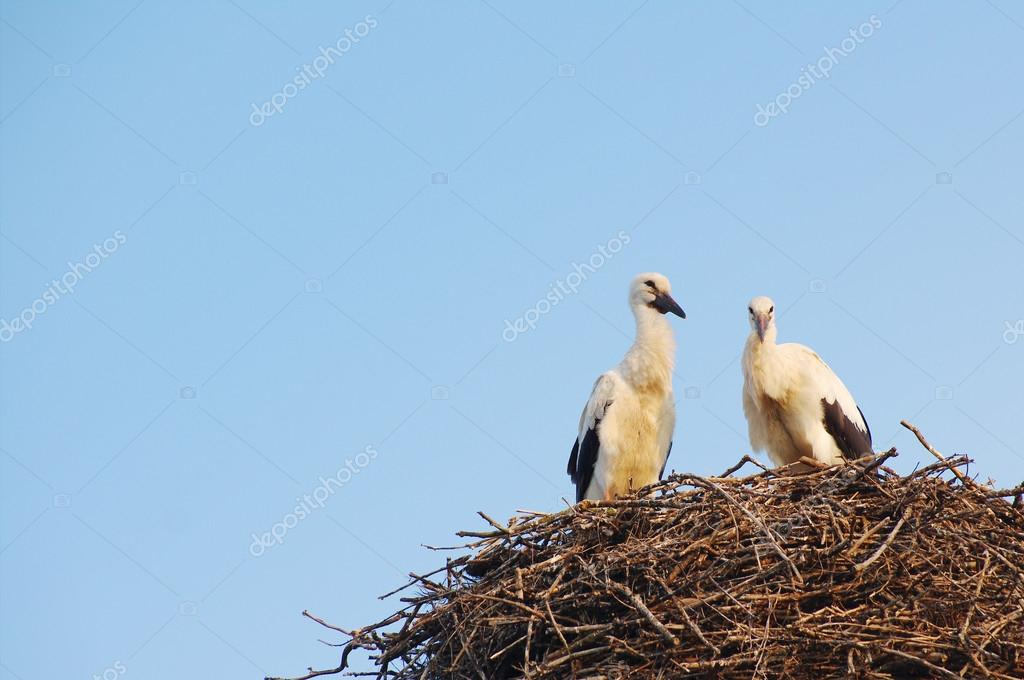 Two young white storks in the nest on blue sky background