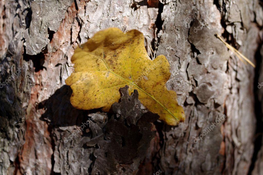 Yellow oak leaf on tree bark