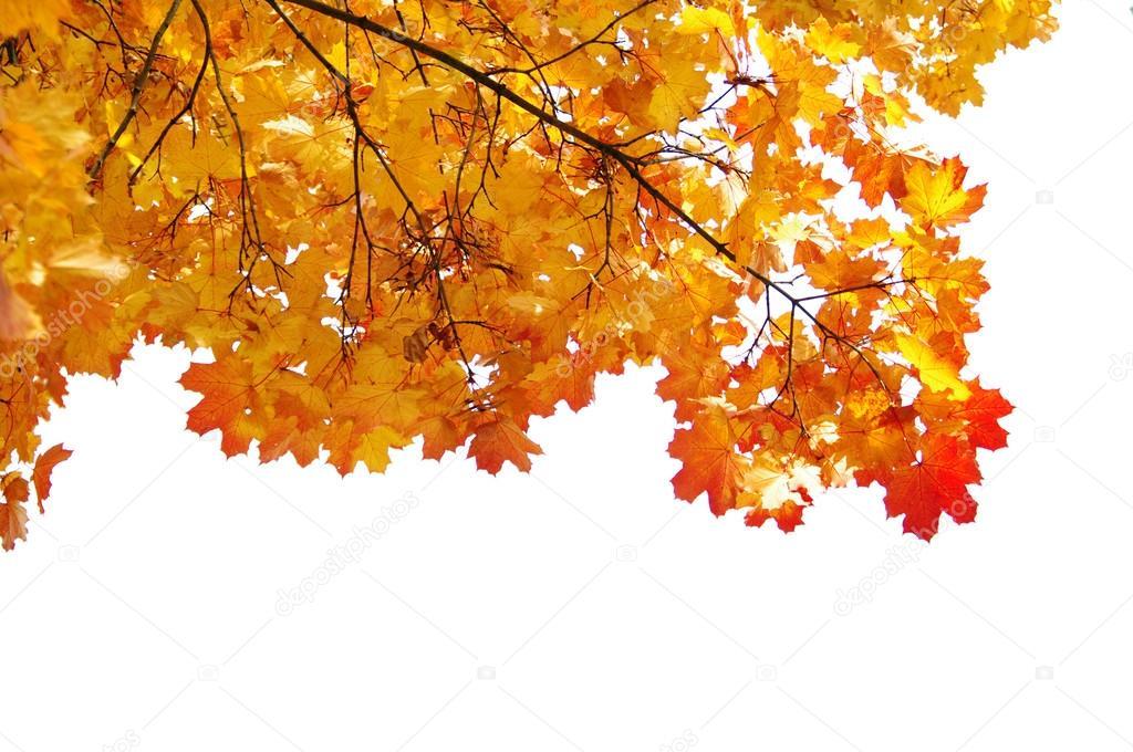 https://st2.depositphotos.com/3960827/5874/i/950/depositphotos_58746865-stock-photo-yellow-maple-branch-of-a.jpg