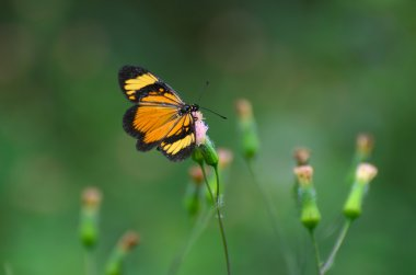 Orange-black butterfly on pink dandelion blossom