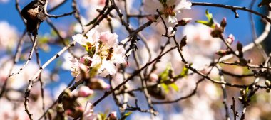 Bee and almond spring flowers on blue sky background close-up - panoramic
