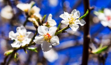 White almond blossoms against the sky panorama macro