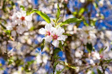 Couple, white rose, almond flowers on a branch, background from other almond flowers and blue sky