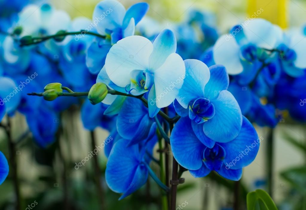 bouquet of blue orchids