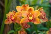 Famiglia di orchidee gialle