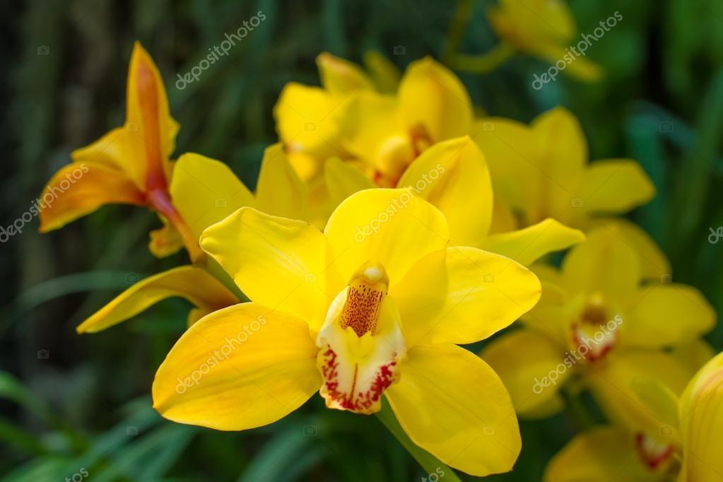 Delightful yellow cymbidium.