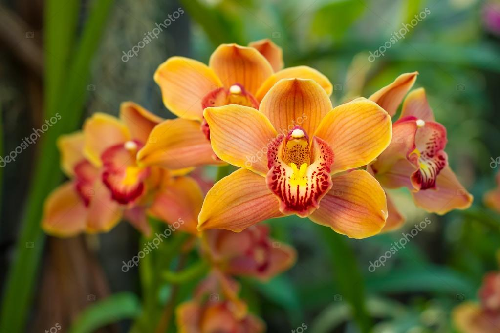 Family of yellow orchids.