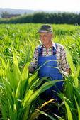 Fotografie Farmář pohledu na cukrové kukuřice