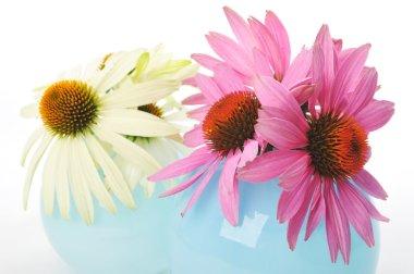 Echinacea flowers isolated