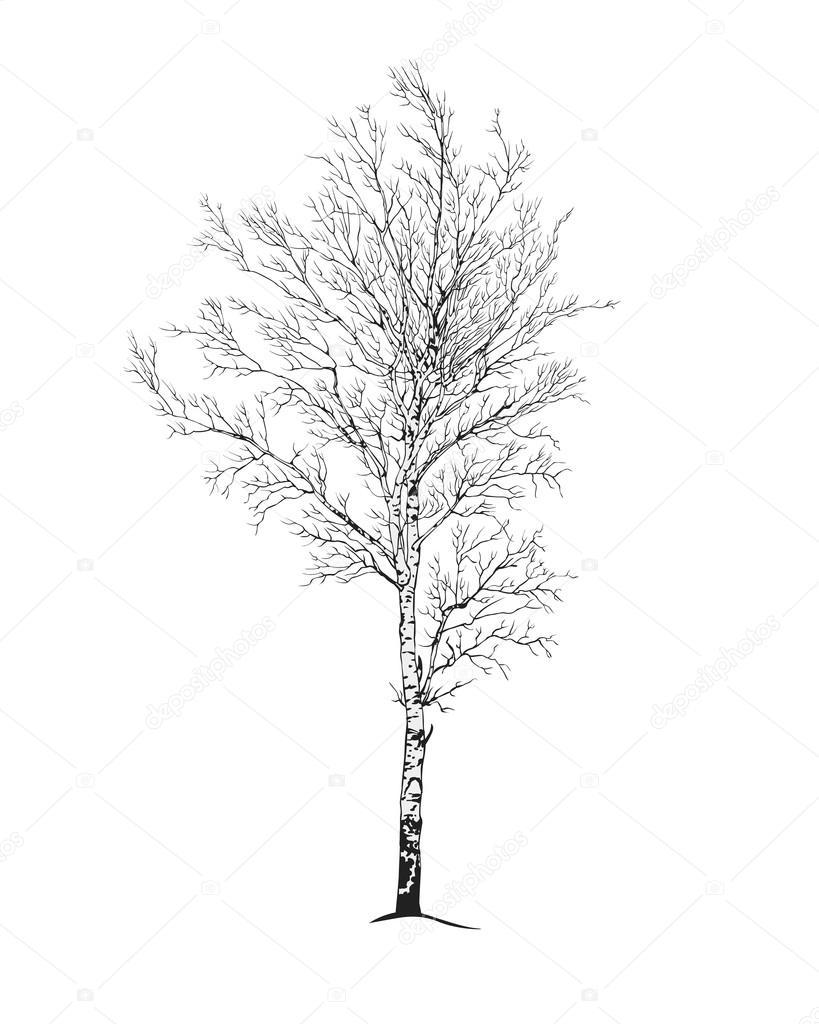 silueta del árbol del abedul — Archivo Imágenes Vectoriales ...