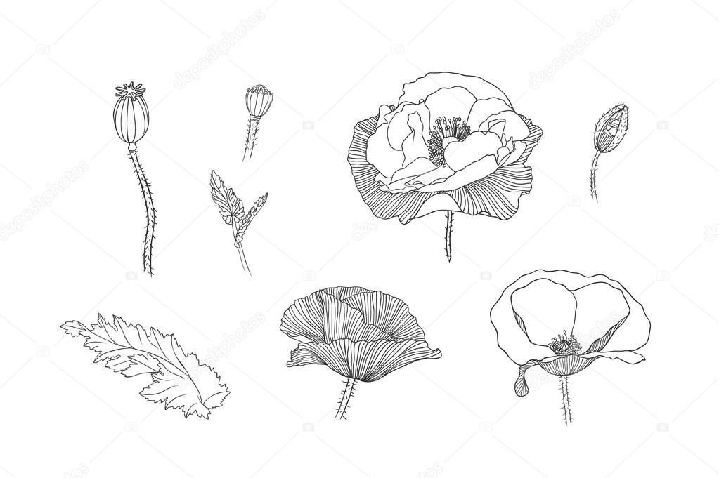 Engraving hand drawn poppy flowers